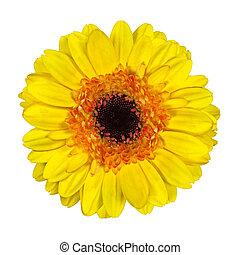 Beautiful Yellow Gerbera Flower Isolated on White
