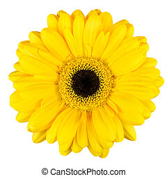 Beautiful Yellow Gerbera Flower Macro Isolated on White