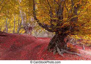 Beech forest in autumn morning after rain covered with fog.