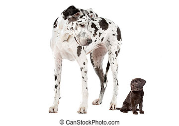 A Great Dane harlequin and a chocolate Labrador puppy in front of a white background