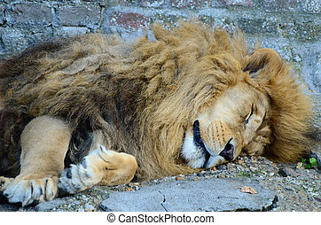 Big male African lion sleeping