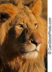 Big male lion 11