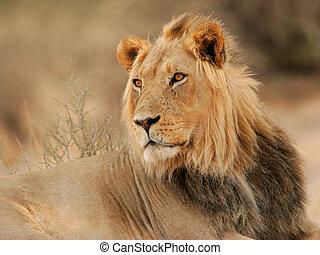 Big male lion