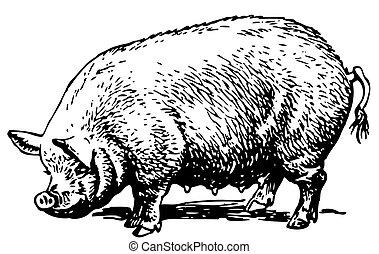 Big pig standing