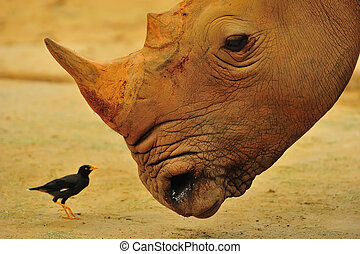 A rhino looking at an oxpecker, also known as a tick-bird, which helps eats the ticks on itself
