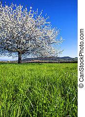 Big white blossoming tree