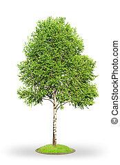Birch tree (Betula) isolated on white background