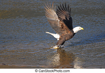 eagle lifting off, from the river