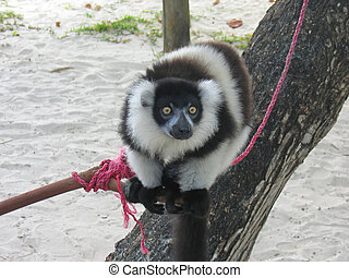 Black and white lemur, Nosy Boraha, Sainte, Marie island, Madagascar
