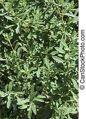 Black sage bush