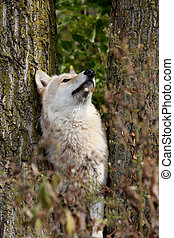 Blond wolf between trees looking up