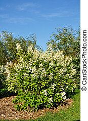 Blooming Hydrangea Bush