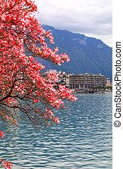 blooming magnolia branch, Lake Geneva, Switzerland.