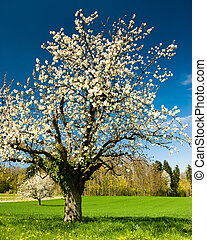 Blossoming chery tree in