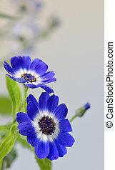 Blue cineraria flowers