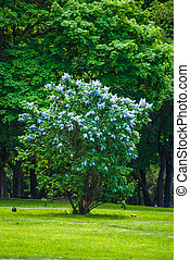 Blue lilac bush