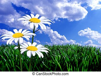 blue sky green grass and daisies