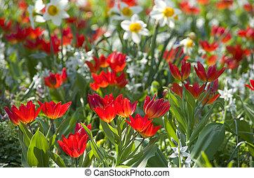 blumenwiese tulpen