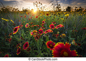 Bright sunflowers and Indian blanket flowers illuminated by a breezy dawn's first light