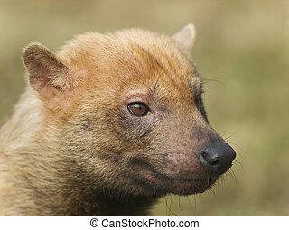 Bush dog - Speothos enaticus