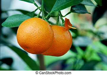 Calamondin Citrus Oranges, native to China, (X Citrofortunella mitis), a showy ornamental, makes excellent marmalade. The juice is used to bleach ink stains from fabrics and also as a body deoderant, a hair shampoo, freckle bleach, insect bite itch reducer. abundant, orchard, health, alternative, ...