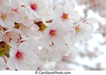 Cherry blossoms during spring
