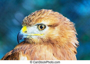 Close portraint of Red-tailed Hawk (Buteo jamaicensis)