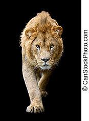 Close up detail portrait of big male lion on black background