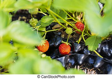 Close up macro view of wild strawberry bush isolated. Red berries and green leaves. Beautiful nature background.