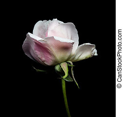 Close up of a white Rose on black background.