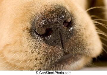 Close up on cute nose of a Labrador