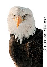 Close-up Portrait Bald Eagle (Haliaeetus leucocephalus washingtoniensis)