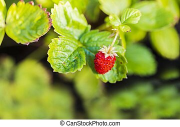 Close up view of wild strawberry bush isolated. Red berries and green leaves. Beautiful nature background.