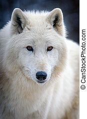 Close up white arctic wolf looking on camera
