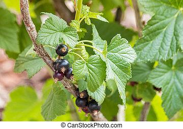 blackcurrant bush with ripe black currants