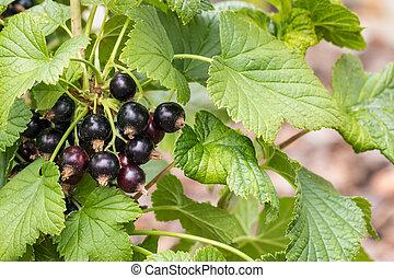 ripe black currants on blackcurrant bush