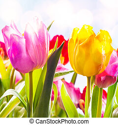 Closeup of two vibrant fresh pink and yellow tulips growing outdoors in a flowerbed in spring sunshine symbolic of the season , square format