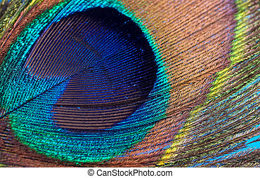 Closeup Photo of a Peacock Feather