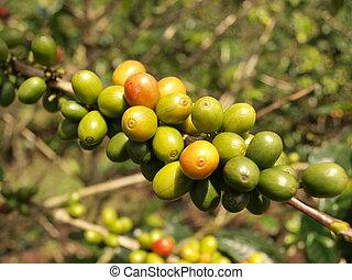 Coffee berries on bush branch