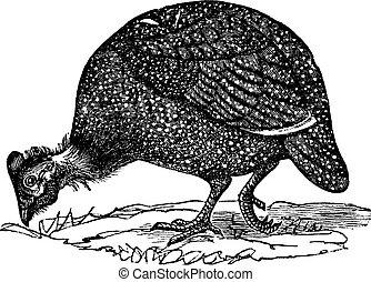 Common guinea fowl (Numida meleagris), vintage engraved illustration. Numida meleagris isolated on white. Trousset encyclopedia (1886 - 1891).