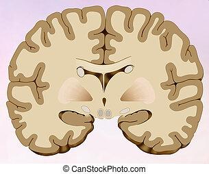 Coronal section of the human brain