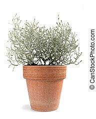 Cushion bush plant