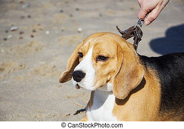 cute tricolor Beagle puppy, Wants to get off the leash.