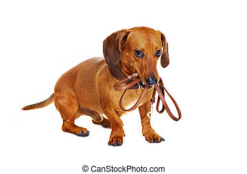 dachshund dog holding leash