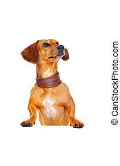 dachshund dog with blank board looking up