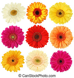 Daisy flower collection