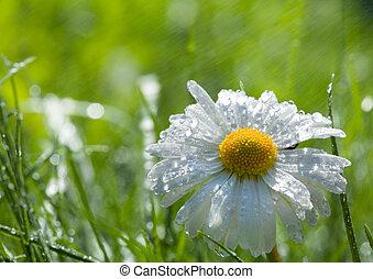 daisy on the loan after spring rain