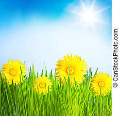 Dandelions spring lawn