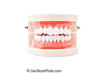 Dental Model.