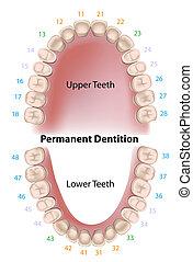 Dental notation by the FDI - world dental federation, adult teeth